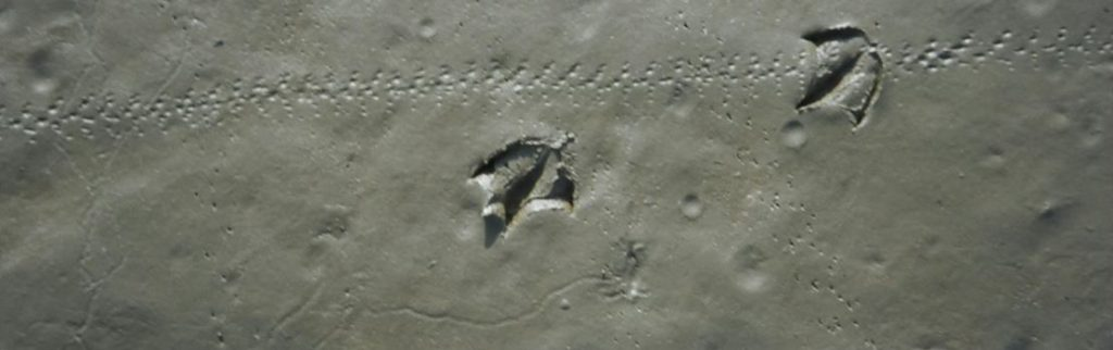 Gull and crab foot imprints on a beach.