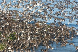 Flock of Sandpipers take flight.