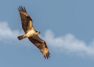 A bird of prey flies in front of a blue sky.