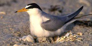 Least Tern on a nest. Courtesy of USFWS.
