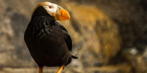 A tufted puffin on a shore rock.