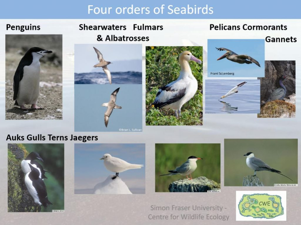 An example slide, featuring images of the four orders of seabirds.