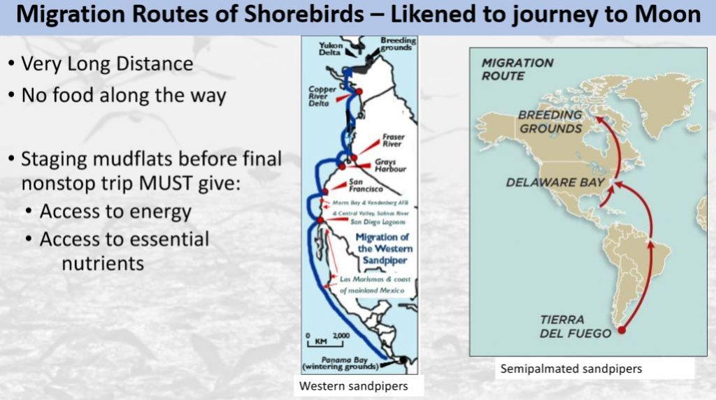 An example slide, showing maps of the migration routes of shorebirds.